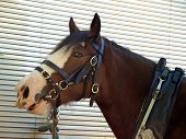foto of clydesdale  - Clydesdale tied to the side of a truck - JPG