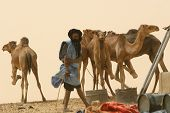 A Berber nomad tends to his hobbled camels in Mali