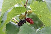 Mulberry, Morus , Tree With Green Unripe, Red Partially Ripe And Black Fully Ripe Fruits Surrounded  poster