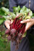 stock photo of root-crops  - Female gardener holding home grown beetroot freshly picked from the garden - JPG