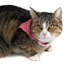 foto of snoopy  - sweet little cat with bandana on white - JPG