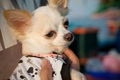 stock photo of chiwawa  - file of face of chihuahua - JPG