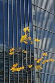 Tree With Yellow Leafs In Front Of A Big Building poster