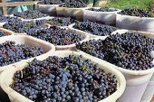 stock photo of cluster  - wine grapes on basket in chianti vineyard - JPG