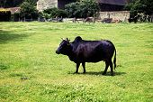 pic of zebu  - zebu humped cattle or brahmin cow in field - JPG