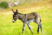 foto of burro  - A cute wild baby burro walking in a field of grass - JPG