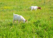 picture of headstrong  - The Goats grazing in the green countryside
