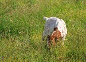 picture of headstrong  - view of Goat grazing in the green countryside - JPG