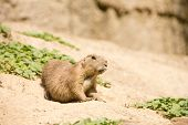 Cute Marmot Is On The Lookout For Danger