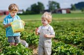 pic of strawberry blonde  - Two little boys on organic strawberry farm in summer picking berries - JPG