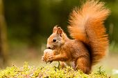 stock photo of ginger  - Ginger Squirrel with his nut on moss in forest in Mlada Boleslav - JPG