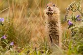 stock photo of gopher  - Standing Gopher eating small nut in Mlada Boleslav - JPG