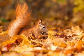 picture of hirsutes  - Ginger squirrel with nut in autumn leaves