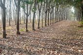 Row Of Rubber Tree.