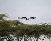 picture of fish-eagle  - African Fish Eagle flying above the blurred trees at lake Naivasha in Kenya - JPG