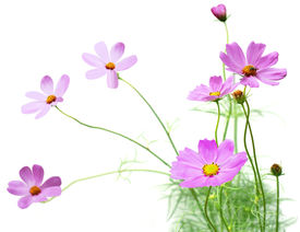 stock photo of cosmos flowers  - Cosmos flower plant in the garden isolated - JPG