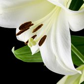 pic of stamen  - Close up of the petals stamens and pistil of a beautiful delicate fresh white lily with green leaves on a black background in square format - JPG