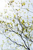 image of dogwood  - Fresh leaves and branches of dogwood  - JPG