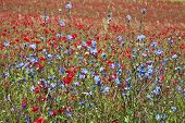 image of chicory  - Field of bright red  poppy flowers with chicory plant  in summer day - JPG