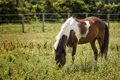 stock photo of appaloosa  - Photo of a beautiful brown and white Appaloosa painted horse grazing in a pasture.