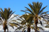 image of snowbird  - Palm Trees with snow capped mountains in the background taken in Cabazon - JPG