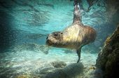 foto of sea lion  - Sea lion swimming underwater in tidal lagoon in the Galapagos Islands
