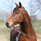 image of pinto  - Gorgeous pinto stallion with nice bridle standing - JPG