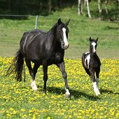 stock photo of mare foal  - Amazing mare with foal running on springs pasturage - JPG