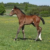 image of fillies  - Beautiful brown filly on spring pasturage alone - JPG