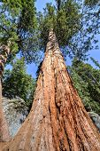 foto of sequoia-trees  - Giant Sequoia Trees in Sequioa National Park California.