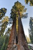stock photo of sequoia-trees  - Merged Giant Sequoia Trees in Sequioa National Park California - JPG