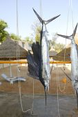 picture of sailfish  - Sailfish catch hanging from marlin fishing tourney trophy - JPG
