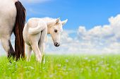 picture of mare foal  - White horse mare and foal looking with suspicion on blue sky background - JPG