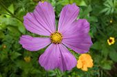 pic of cosmos flowers  - Cosmos is a genus - JPG