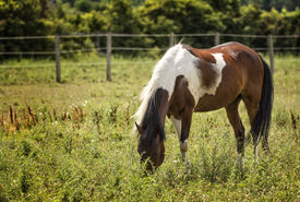 foto of appaloosa  - Photo of a beautiful brown and white Appaloosa painted horse grazing in a pasture.