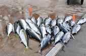 stock photo of yellowfin tuna  - A view of a lot of tunas - JPG