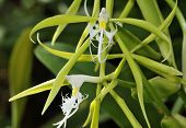 stock photo of epiphyte  - Fringed Star Orchid - Coilostylis ciliare