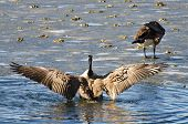 picture of nasty  - A Canada Goose Encountering Nasty Ice Flow - JPG