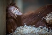foto of baby-monkey  - Stare of an orangutan baby - JPG
