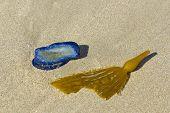 pic of bladder  - Blue Velella velella stranded on ocean beach along with Brown Kelp blade with bladder - JPG