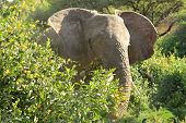 foto of vegetation  - African elephant (Loxodonta Africana) eating leaves between vegetation Lake Manyara National Park Tanzania
