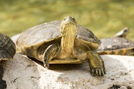 image of cooter  - wild turtle in everglades florida national park - JPG