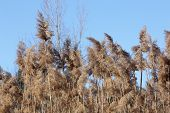 picture of australie  - Phragmites australis growing in a marshy area beside a country road - JPG