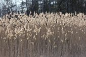 stock photo of australie  - Phragmites australis growing in a marshy area beside a country road - JPG