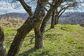 image of row trees  - A row of old apple trees in an orchard on springtime - JPG