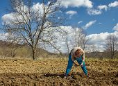 stock photo of potato-field  - Senior woman covering potatoes on a fresh plowed field; sowing potatoes