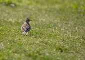 picture of mockingbird  - Skylark spotted outside in Bull Island Dublin Ireland - JPG