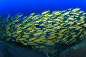 stock photo of bigeye  - School yellow fish  - JPG