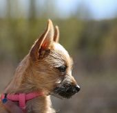 stock photo of chihuahua mix  -  a cute chihuahua mix in the arms of a caring person during fall - JPG