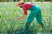 stock photo of hoe  - Farmer man working in onion orchard field with hoe tool - JPG